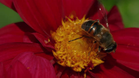 Ultra Macro Shot of a Bee Pollinating a Red Flower Footage