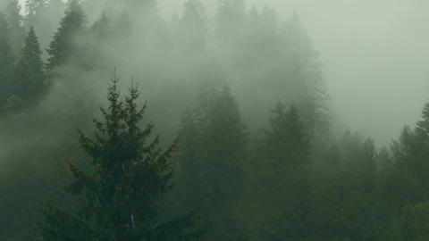 Pine Tree Forest With Mist And Fog In Transylvania, Romania stock footage