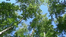 Picturesque Birch Groves Near Moscow stock footage