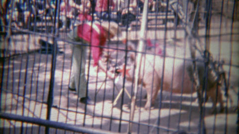 1963: Incredible pig circus show behind barbaric iron cage bars Footage