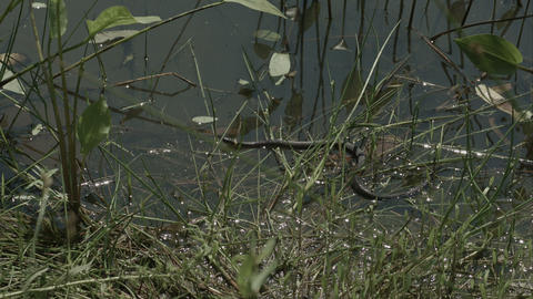 Moving grass snake, natrix on pond with duckweed Footage