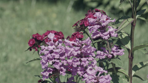 Pink Carnations in garden Stock Video Footage
