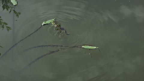 frog pushes leaf swimming in alake water on a sunny day Footage