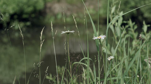 Camomiles in grass near the pond water Footage