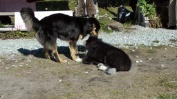Greenland Small Town Qaqortoq 097 The Dogs Of The Eskimos, Older And Very Young  stock footage