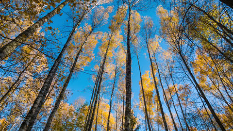 Autumn Birches And Blue Sky Footage