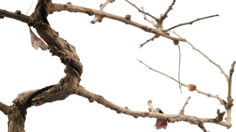 Dead Tree with Branches Against a White Background and with Copy-space Footage