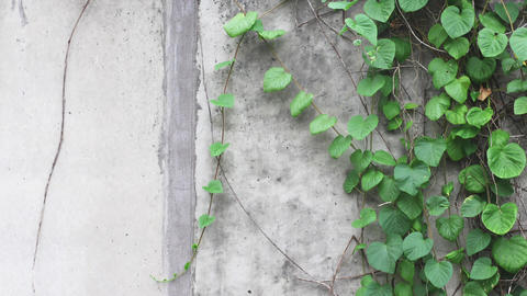 Wall Vines with Textured Wall Footage
