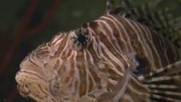 Lionfish Breathing in Shallow Waters Footage