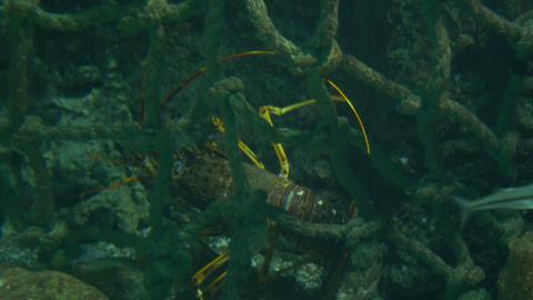 Lobster Between Algae Footage