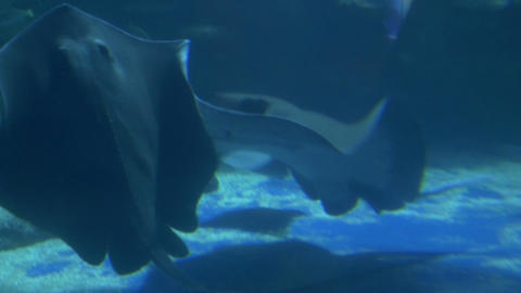 Stingrays and Sea Life Stock Video Footage