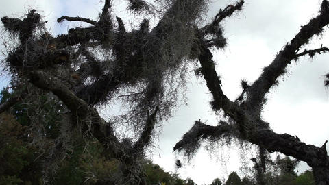 Spanish Moss in Dead Tree Dolly Live Action