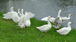 The White Ducks On The Lake stock footage