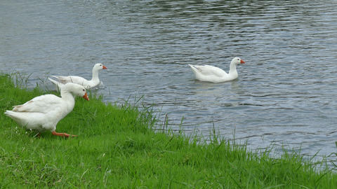 The White Ducks On The Lake 2 Footage