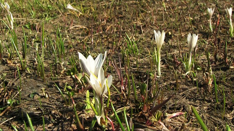 White Crocus Flower Footage