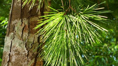 Close up of pine tree leaves 1 Footage