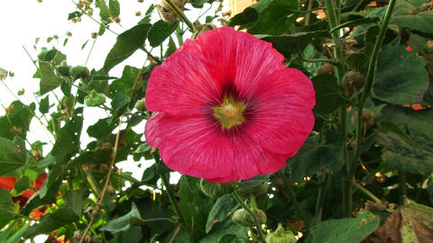 Red Flower Mallow Closeup Footage