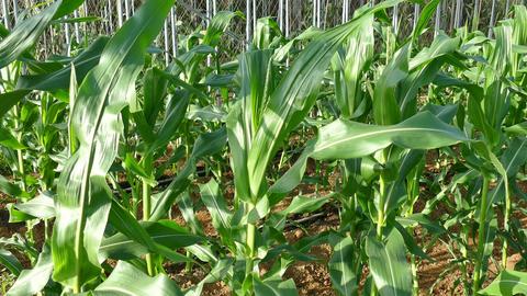 Corn Field 1 Footage