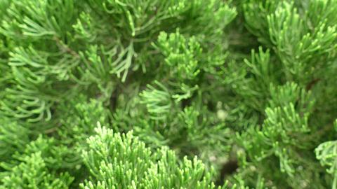 Cypress Tree Leaves stock footage
