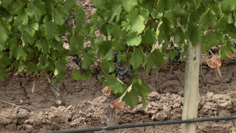 Zoom out from grapes on vine to view of vineyard Stock Video Footage