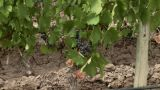 Zoom out from grapes on vine to view of vineyard Footage
