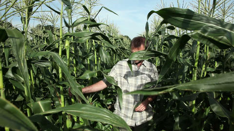 Farmer walking through corn field Stock Video Footage
