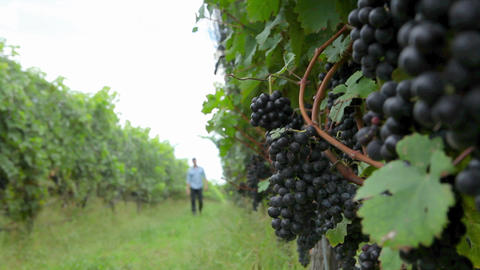 Man walking through vineyard Stock Video Footage
