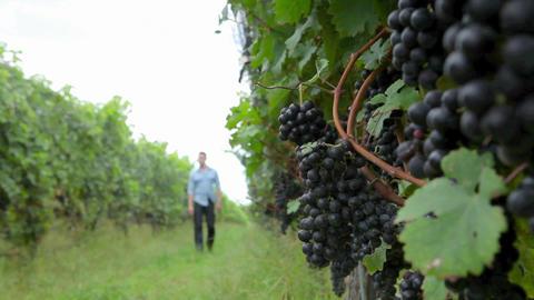 Man walking through vineyard Stock Video Footage