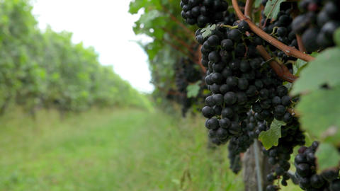 Man inspecting black grapes on the vine in vineyard Stock Video Footage