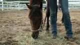 Horse grazing on hay in paddock Footage