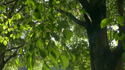 Sunlight through the leaves Footage