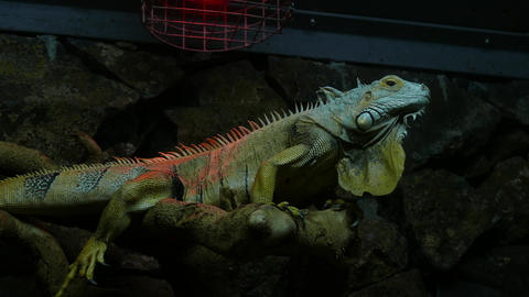 Green Lizard Sitting and Relaxed Footage