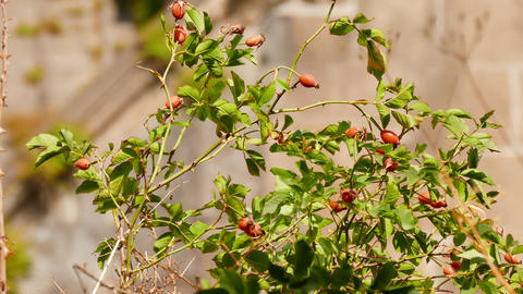 Rosehip Tree in the Sunshine Footage