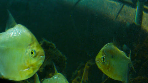 Yellow Fish In A Fish Tank stock footage