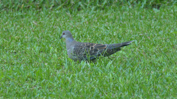 Pigeon Eating in the Artificial Turf Grass 1 Footage
