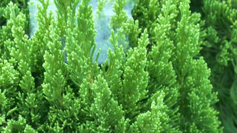 Cypres Tree Leaves 2 Footage