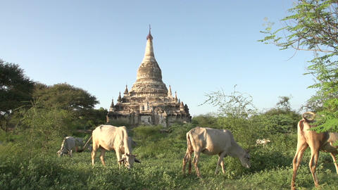 Pagoda and cows in the front Footage