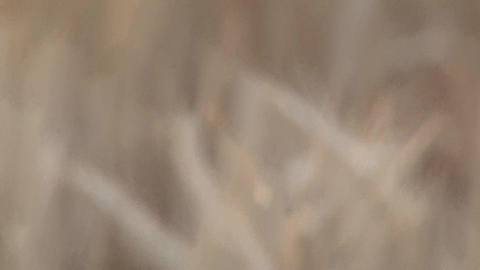 Wheat Focus And Trees stock footage