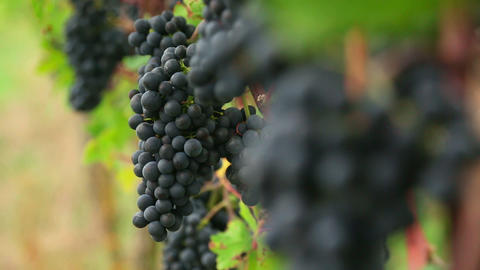 Red Grapes stock footage