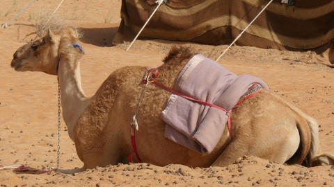 Camel (dromedary) Lying In Desert Camp stock footage