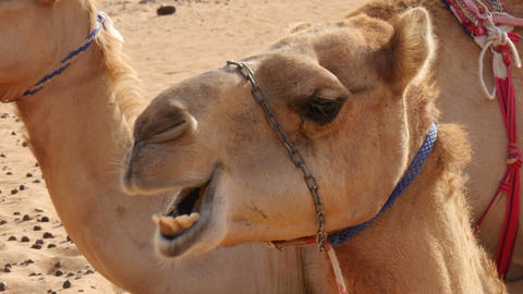 oman camel (dromedary) chewing extreme closeup Footage