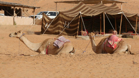 Two camels (dromedary) lying in desert in front of bedouine tent Footage