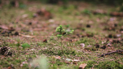 Little Pine Tree With Falling Cone stock footage