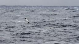 Wondering Albatross stock footage
