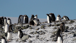 Gentoo Penguins Colony stock footage