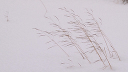 Blade Of Grass Blowing In The Wind In Winter stock footage