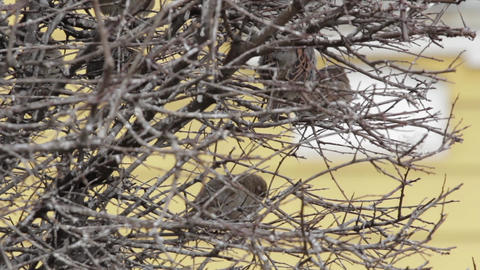 Sparrows Sitting In Bush 02 stock footage