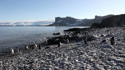 Gentoo Penguins On The Beach stock footage