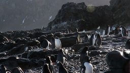 Gentoo penguins on the Rocks of Antarctica Footage