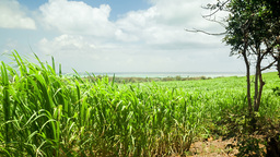Sugar cane fields with sea side in the background two Footage